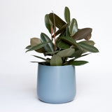 Water & Light Plant Shop Rubber Plant Ficus Elastica in blue pot