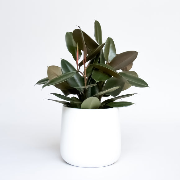 Water & Light Plant Shop Rubber Plant Ficus Elastica Burgundy in white pot