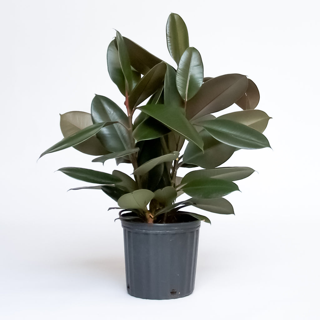 Water & Light Plant Shop Rubber Plant Ficus Elastica in nursery pot