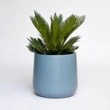 Water & Light Plant Shop King Sago Plant in blue pot