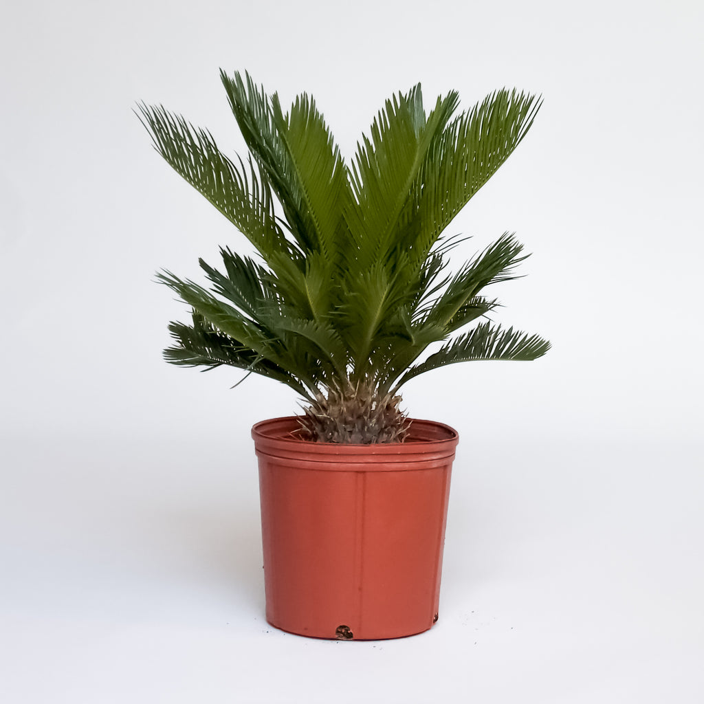 Water & Light Plant Shop Cycas Revoluta King Sago Plant in nursery pot
