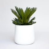 Water & Light Plant Shop Cycas Revoluta King Sago Plant in white pot