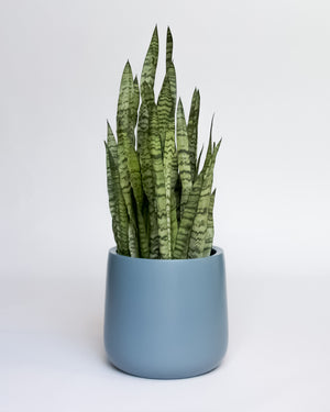 Water & Light Plant Shop Snake Plant Sansevieria Black Coral in blue pot