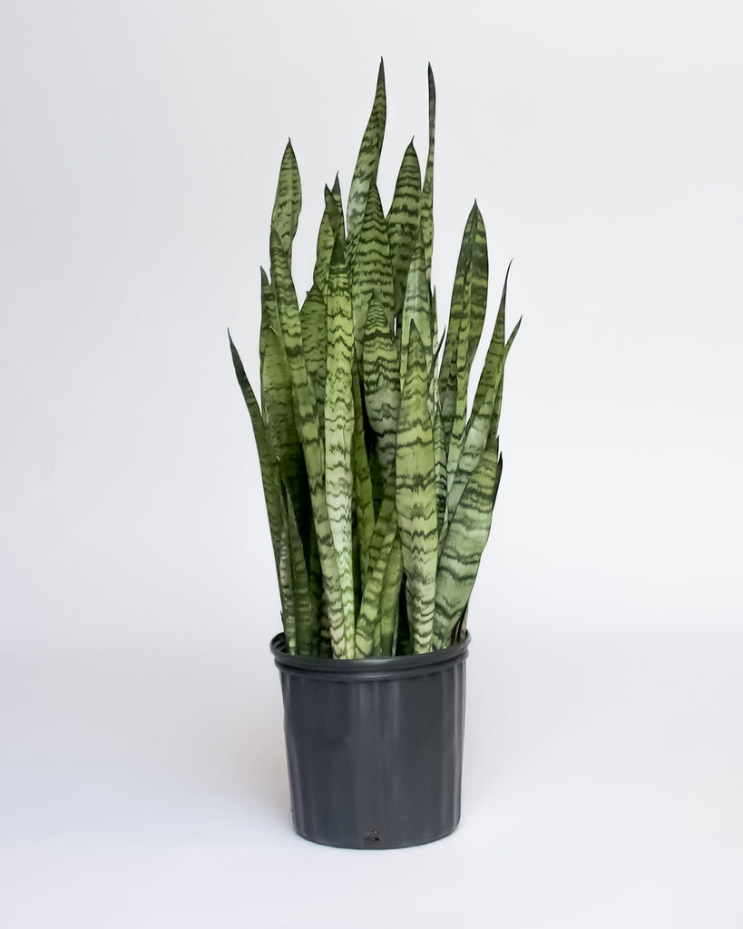 Water & Light Plant Shop NYC Snake Plant Sansevieria