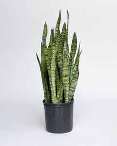 Water & Light Plant Shop Snake Plant Sansevieria in nursery pot