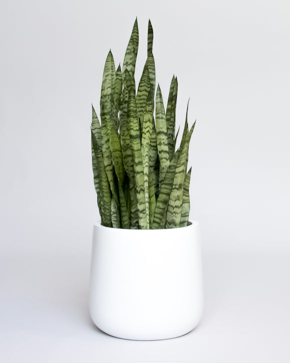 Water & Light Plant Shop Snake Plant Sansevieria Black Coral in white pot