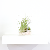 Water & Light Plant Shop Crystal Tillandsia Air Plant Terrarium