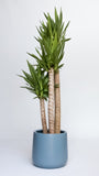 Water & Light Plant Shop Yucca Palm Plant in blue pot
