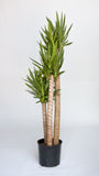 Water & Light Plant Shop Yucca Palm Plant in nursery pot