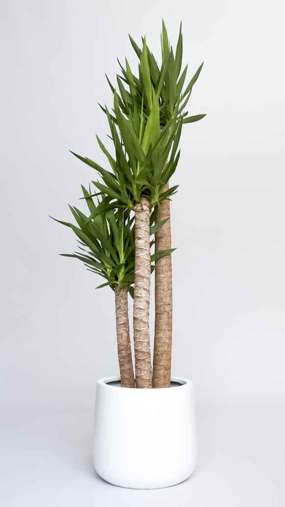 Water & Light Plant Shop Yucca Palm Plant in white pot