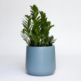Water & Light Plant Shop Zamioculcas ZZ Plant in blue pot