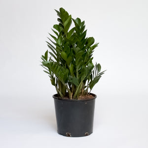 Water & Light Plant Shop Zamioculcas ZZ Plant in nursery pot