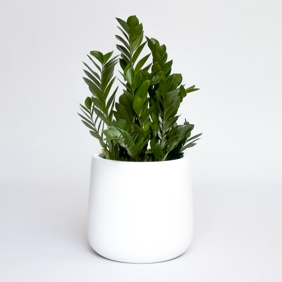 Water & Light Plant Shop Zamioculcas ZZ Plant in white pot