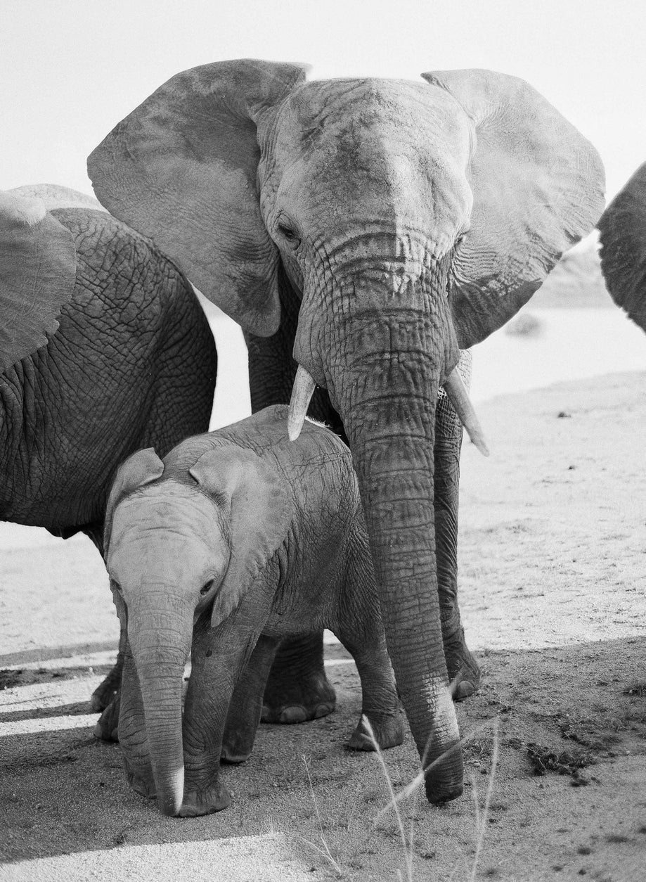 Elephant Family #1, South Africa