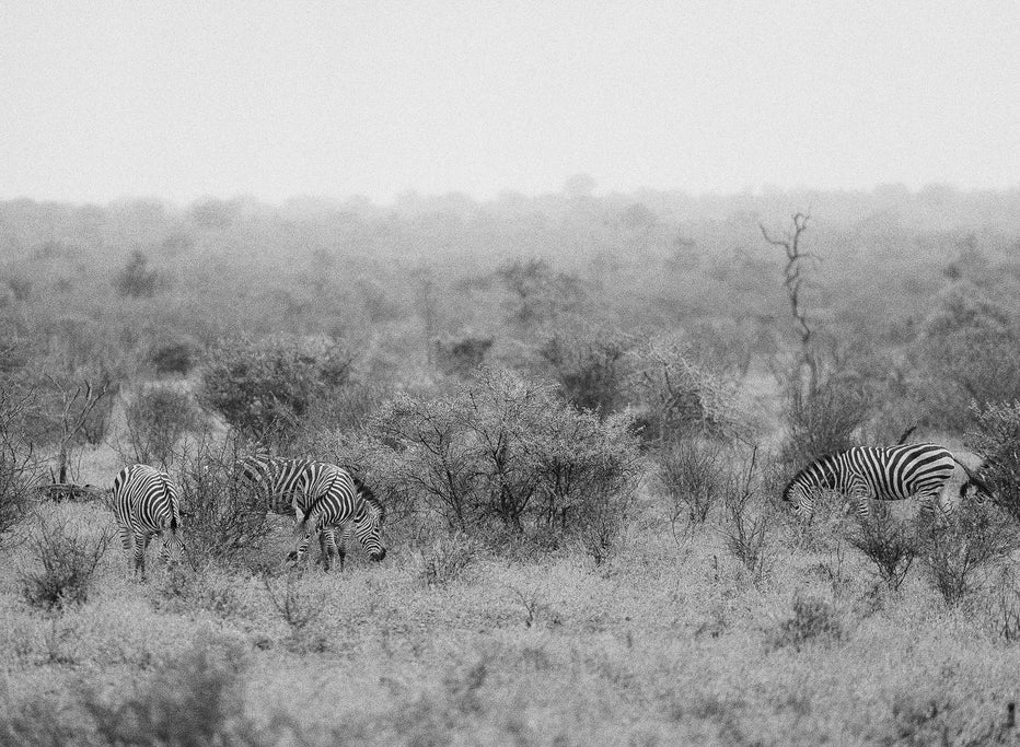 Zebras #2, South Africa