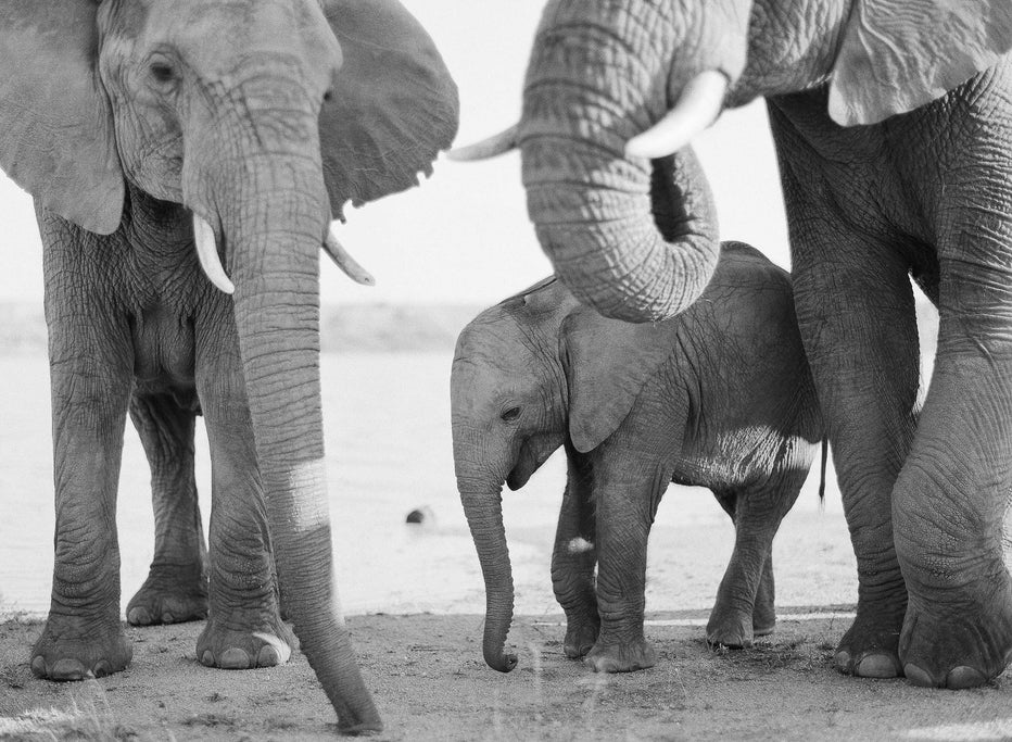 Elephant Family #4, South Africa