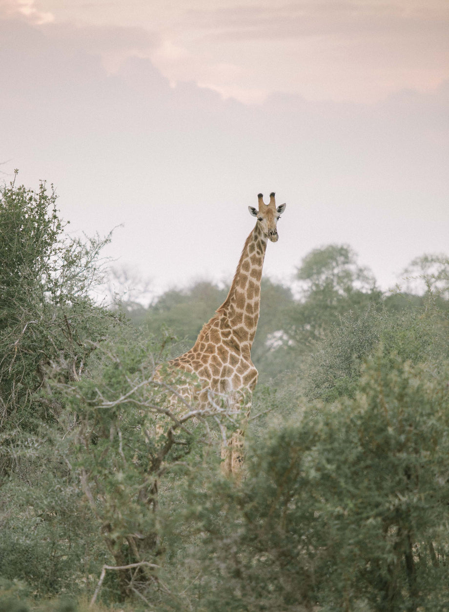 Giraffe #2, Kruger National Park
