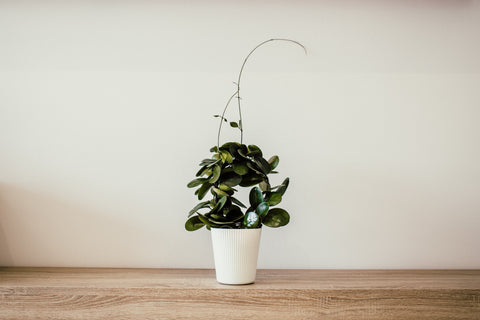Image of single large plant in a white pot. Photo by Juan Pablo Serrano Arenas from Pexels