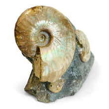 Cleoniceras Ammonite Triple