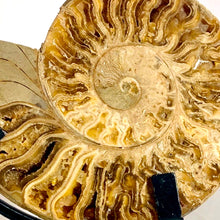 Cleoniceras Ammonite Split, with display stands