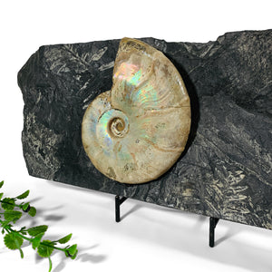 Iridescent Ammonite on Fossilized Seed Fern Plate
