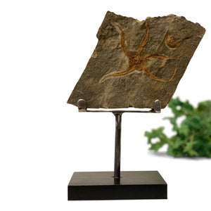 Fossil Starfish and Trilobite Plaque on Stand