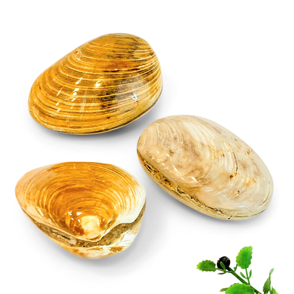 Fossil Bivalve Clams