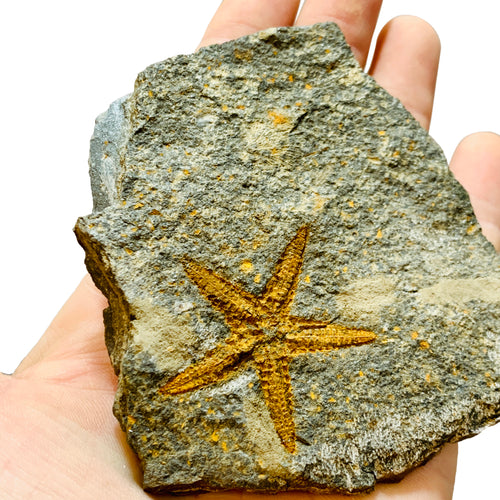 Starfish Single