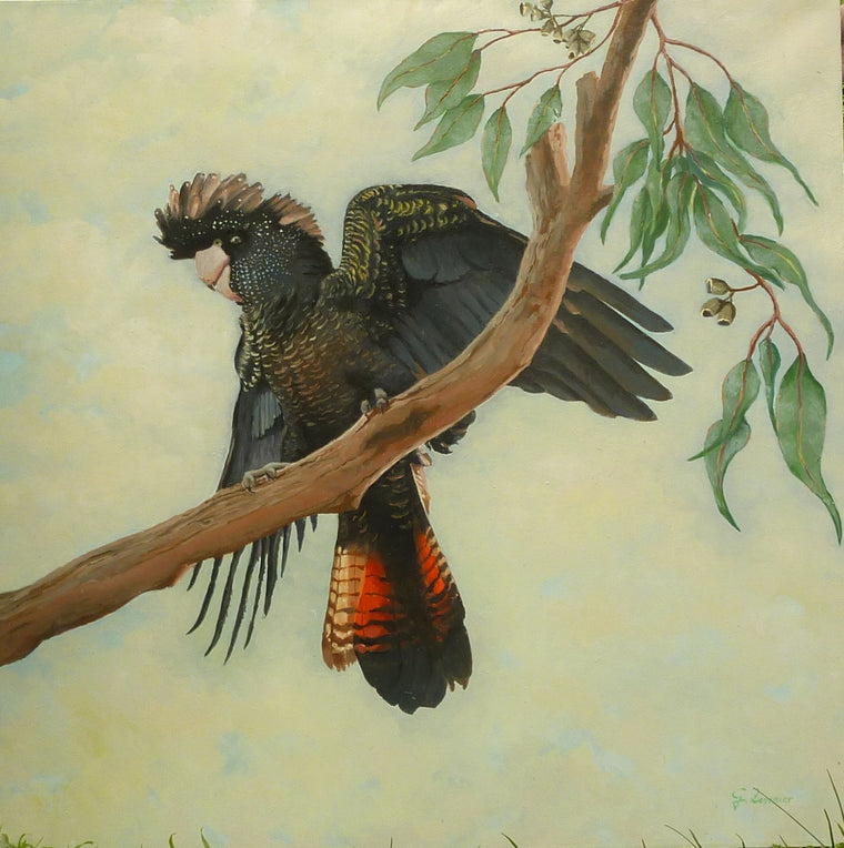 Red Tailed Black Cockatoo