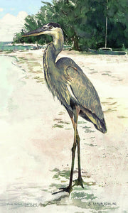 Blue Heron On Shell Beach, Siesta Key - Art Print