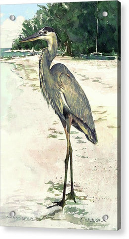 Blue Heron On Shell Beach, Siesta Key - Acrylic Print