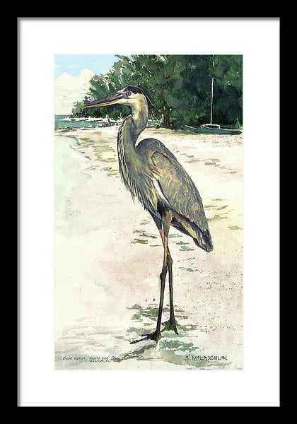 Blue Heron On Shell Beach, Siesta Key - Framed Print