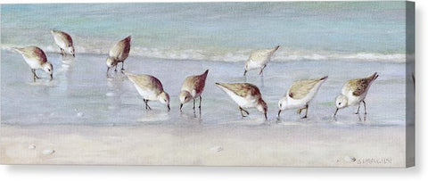 Breakfast On The Beach, Snowy Plover Sandpipers, Siesta Key, Wide-narrow - Canvas Print