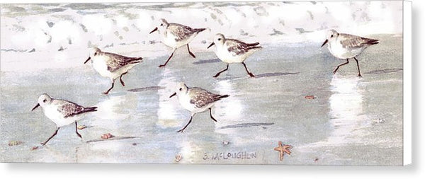 Snowy Plover Sandpipers On Siesta Key Beach, Wide-narrow - Canvas Print