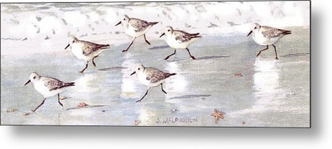 Snowy Plover Sandpipers On Siesta Key Beach, Wide-narrow - Metal Print