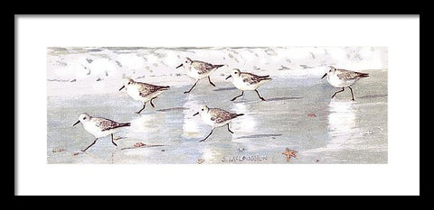 Snowy Plover Sandpipers On Siesta Key Beach, Wide-narrow - Framed Print