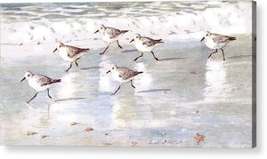 Snowy Plover Sandpipers On Siesta Key Public Beach - Wide - Acrylic Print