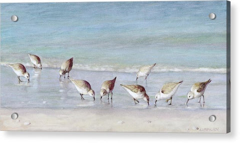 Breakfast On The Beach, Snowy Plover Sandpipers, Siesta Key - Acrylic Print