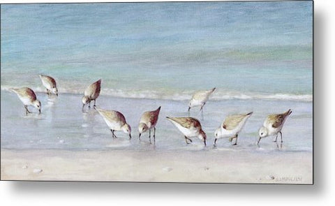 Breakfast On The Beach, Snowy Plover Sandpipers, Siesta Key - Metal Print