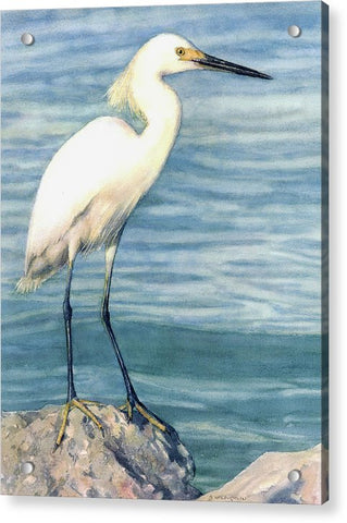 Snowy White Egret On Siesta Key - Acrylic Print