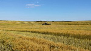 An agronomic miracle: Camelina overcomes the toughest growing conditions