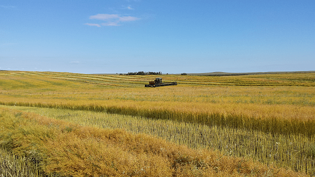 An oilseed miracle: Camelina overcomes the toughest growing conditions