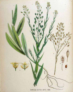 Camelina: a favourite among geese, horses, sheep, cows and goats in 1816