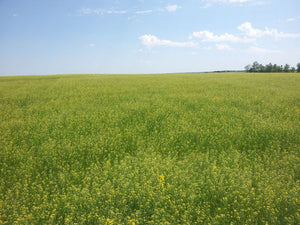 Camelina resists 5 common insect pests of canola