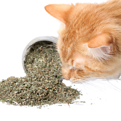 Cat sniffing pot of dried catnip