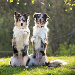 Two dogs standing on hind legs