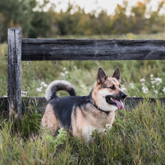 Dog outside standing by rustic fence