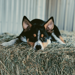Dog laying in a hay bale