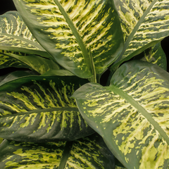 Dumb cane plant, birds eye view of leaves
