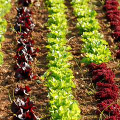Lines of salads growing at Trevaskis Farm, Hayle